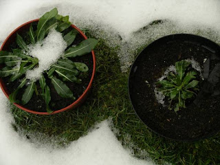 snow melting on second year woad plants