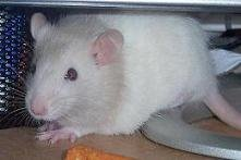 "Ashley's Pet Rat ~ ""Pip"""