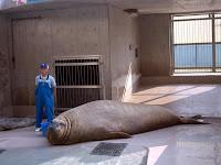 みなぞう (Minazo) lying on the ground at 江ノ島水族館 (Enoshima aquarium)