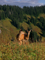 A couple of deers at Mount Rainier