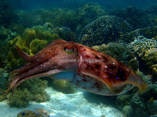 COLOURFUL FULL GROWN CUTTLEFISH
