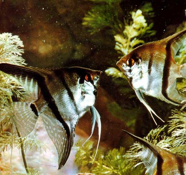 Acuarios spetyone escalar for Comida viva para peces