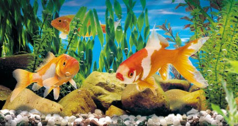 Acuarios spetyone acuario agua fria for Clases de peces de acuario