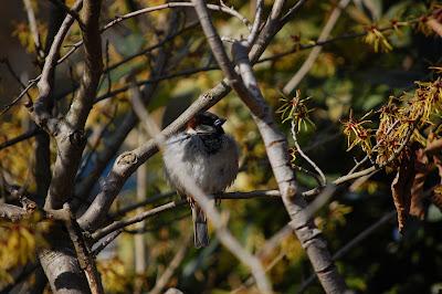 House Sparrow in Cedar, Strathcona, Vancouver, BC