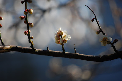 Early blossom, Sun Yat Sen Gardens, Strathcona, Vancouver, BC