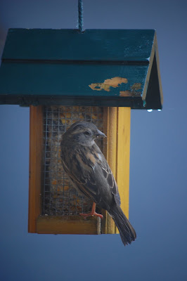 sparrow at feeder, Strathcona, Vancouver, BC