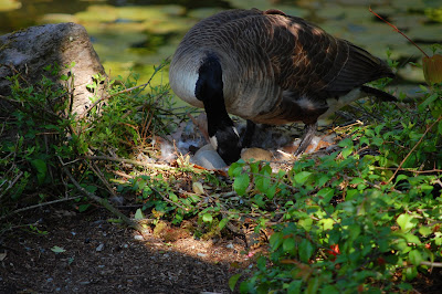 Canada Goose and eggs