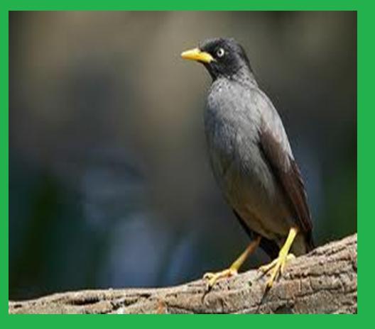 """Burung jalak"""" : adalah spesies burung pemakan buah-buahan seperti"""