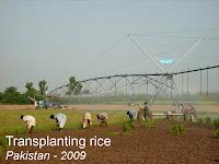 transplanting rice Pakistan
