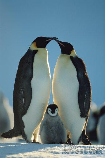 DóòH: Amor de Pinguim