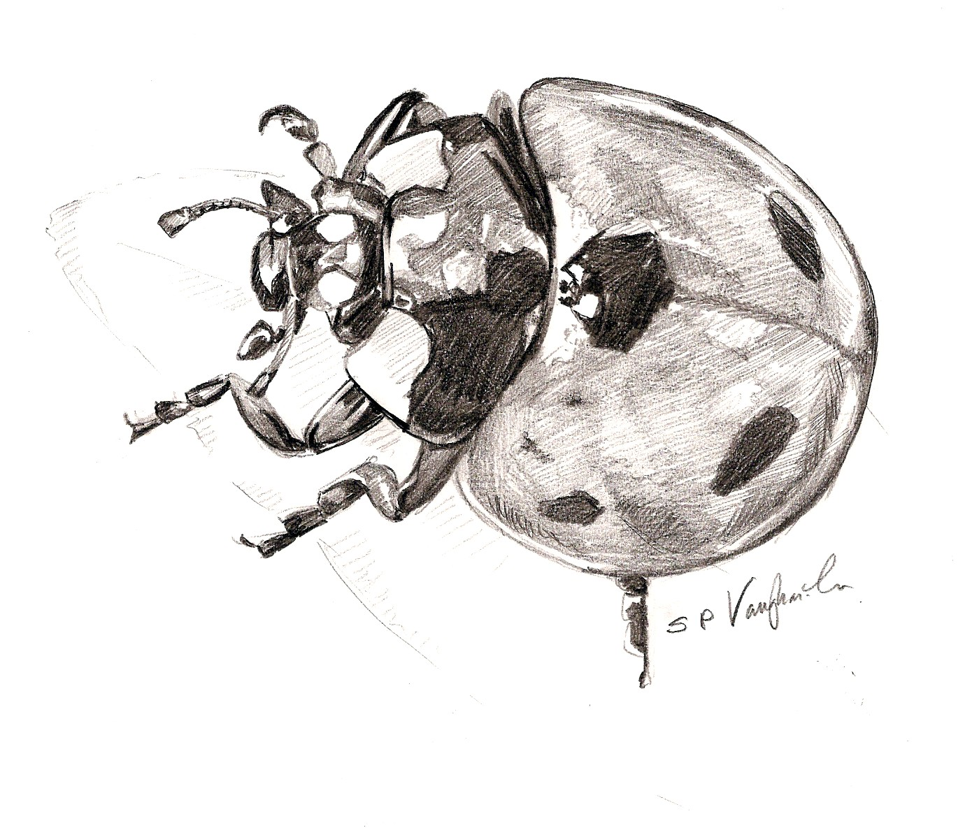 Realistic ladybug drawing - photo#27