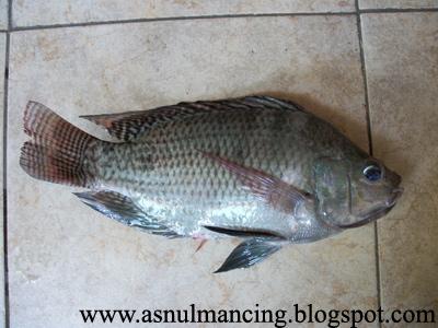 Gambar 4. Ikan Nila besar
