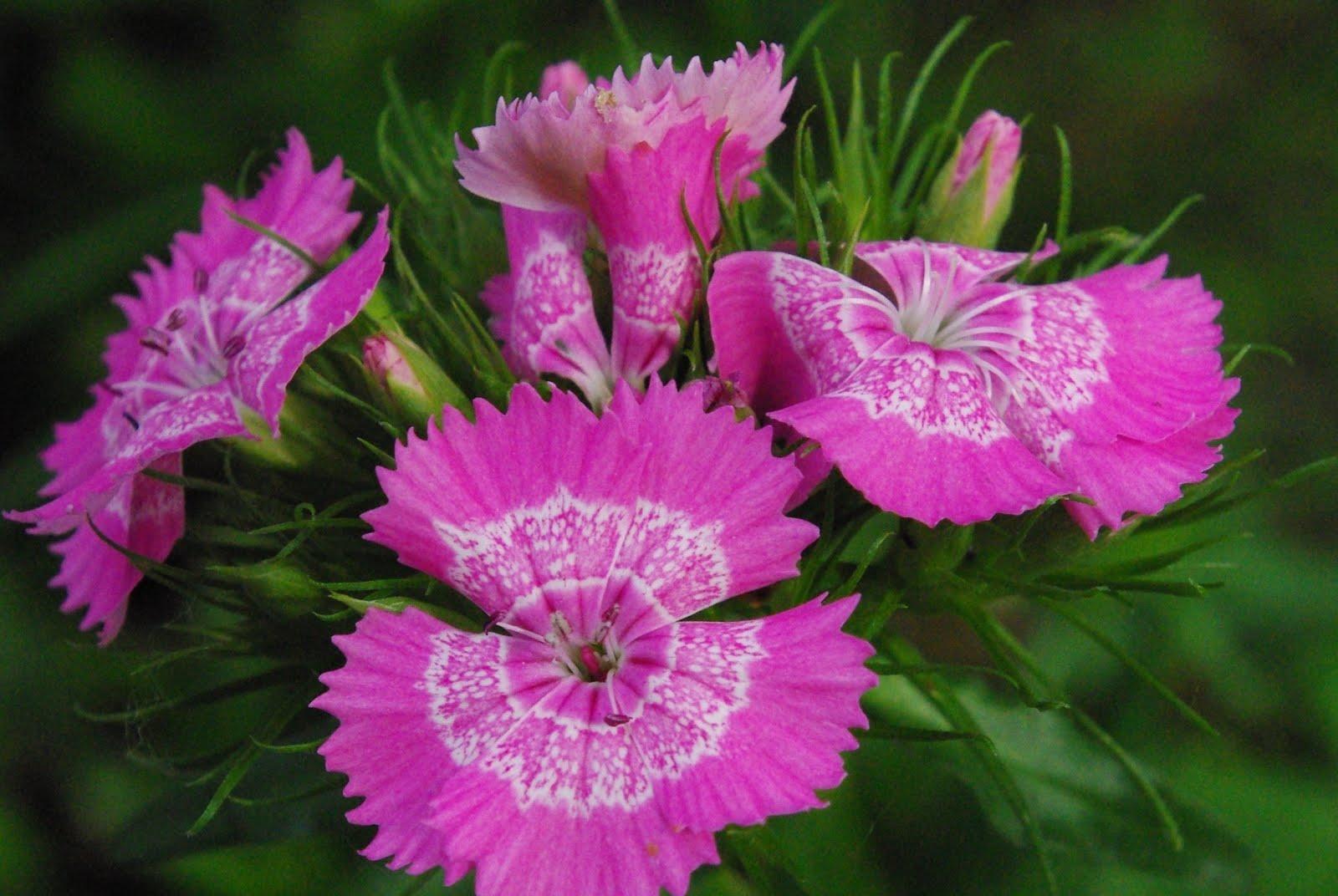 Flore en valois oeillet de chine dianthus sinensis dianthus chinensis - Oeillet de chine ...