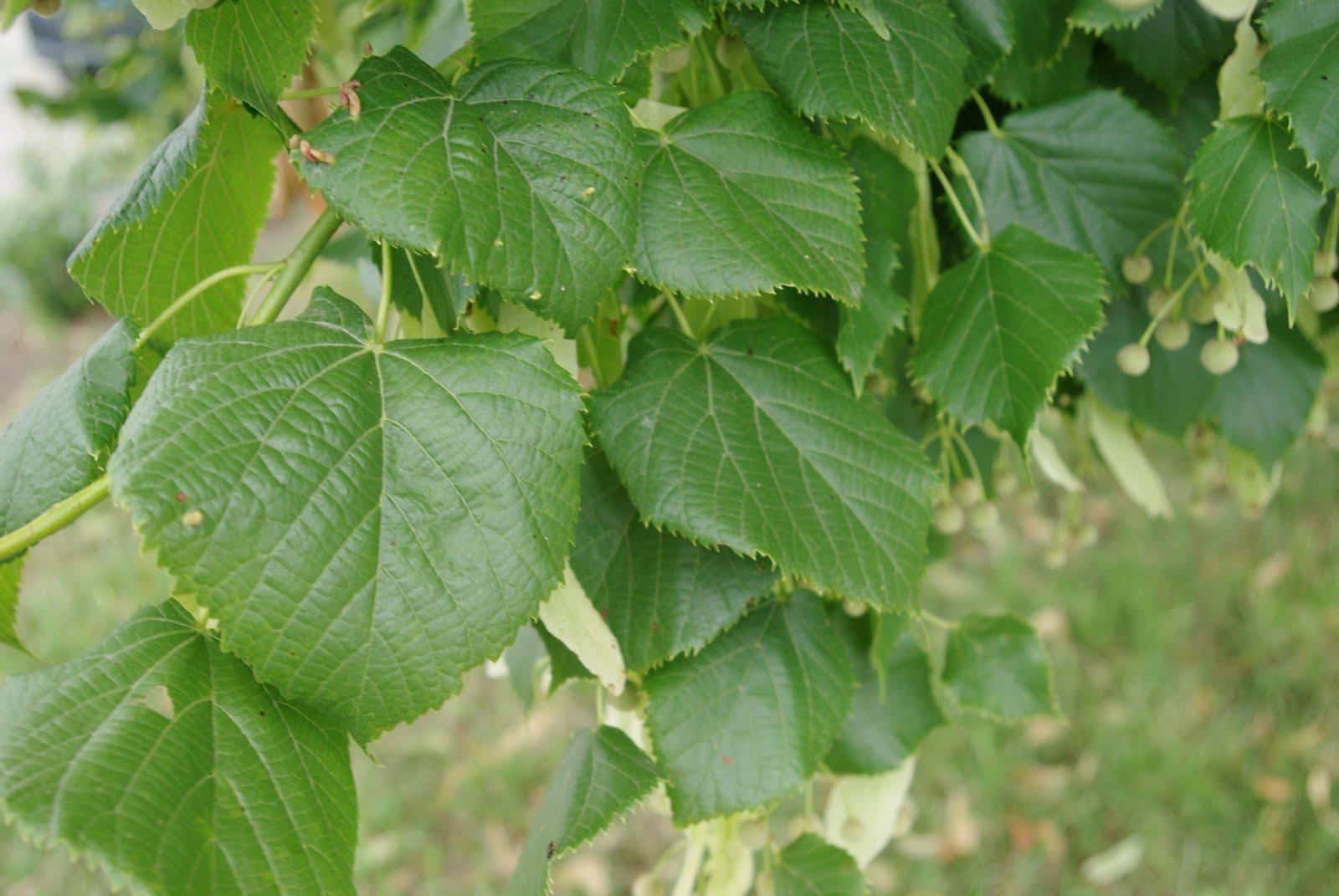 Flore en valois tilleul grandes feuilles tilia - Tilleul a grandes feuilles ...
