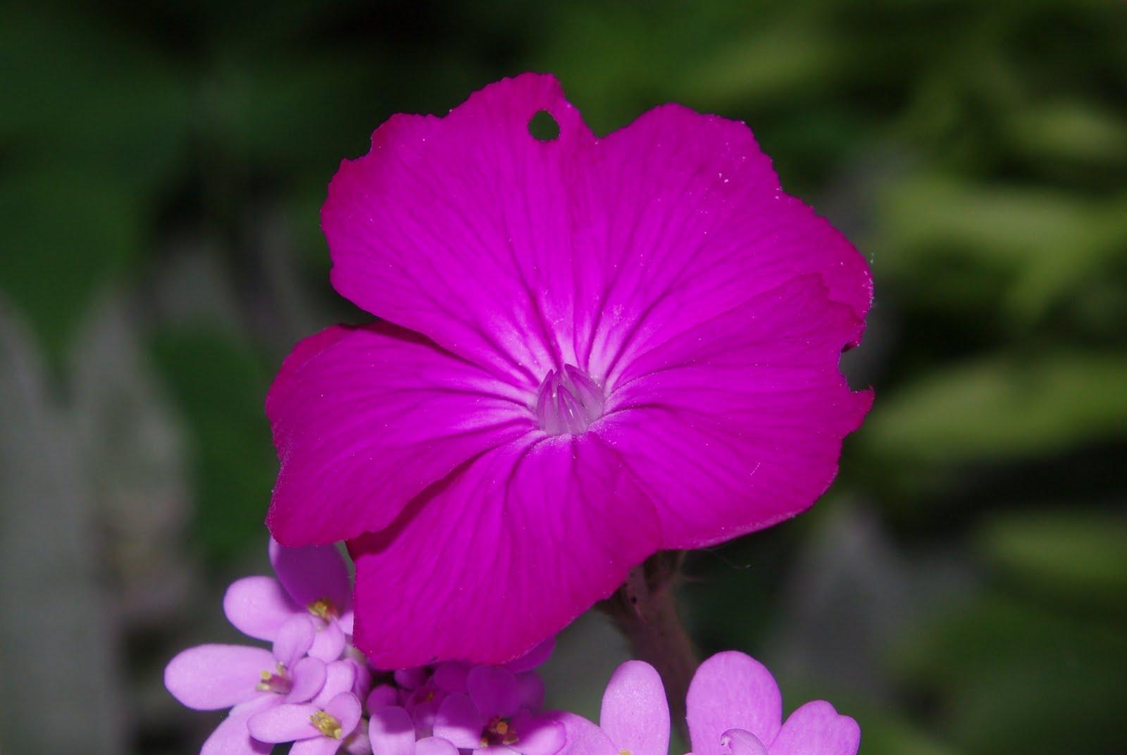Flore en valois coquelourde des jardins lychnis coronaria - Coquelourde des jardins lychnis coronaria ...
