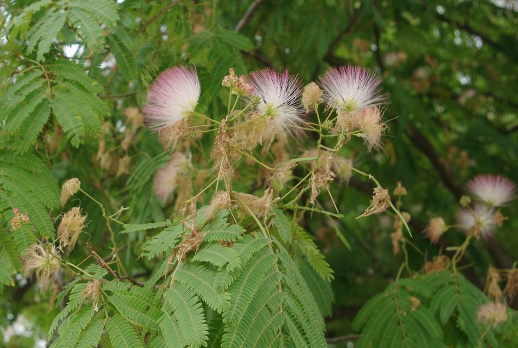 Flore en valois arbre de soie albizia julibrissin fleurs for Acacia de constantinople prix