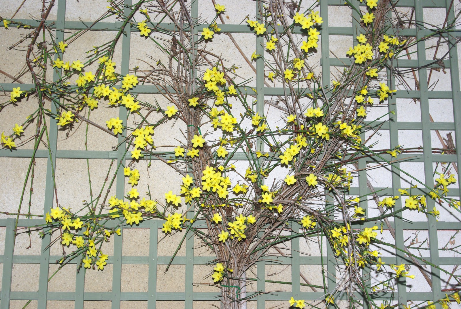 Flore en valois jasmin d 39 hiver jasminum nudiflorum - Jasmin d hiver blanc ...