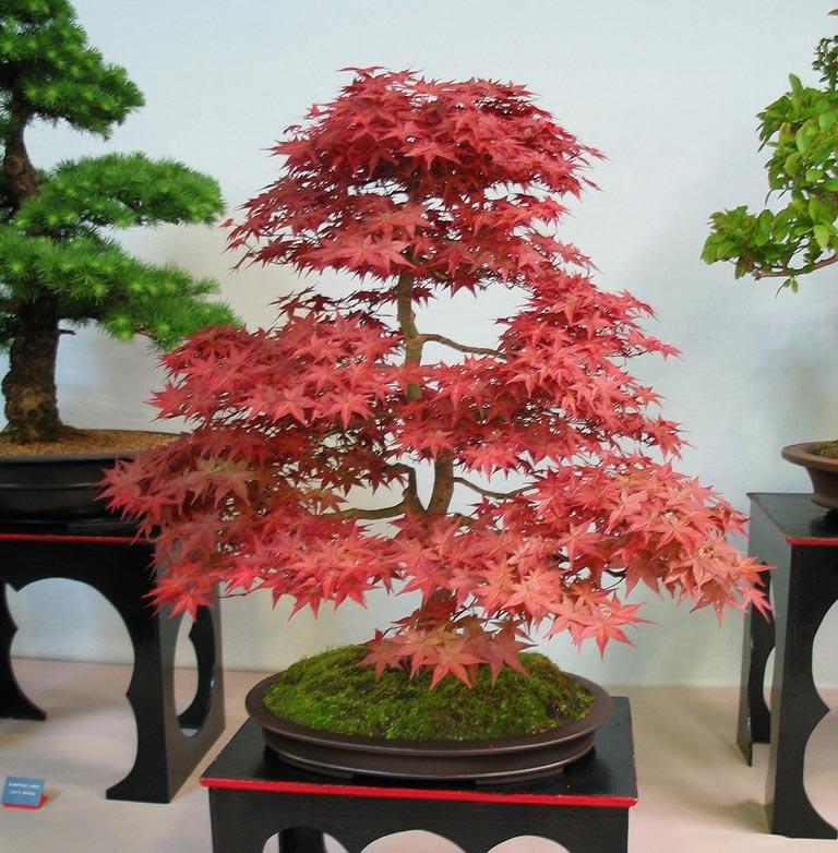 Lume ar a arte do bonsai - Como cultivar bonsais ...