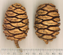 .redwood pine cones.