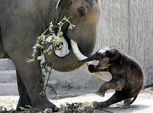 .baby elephant.
