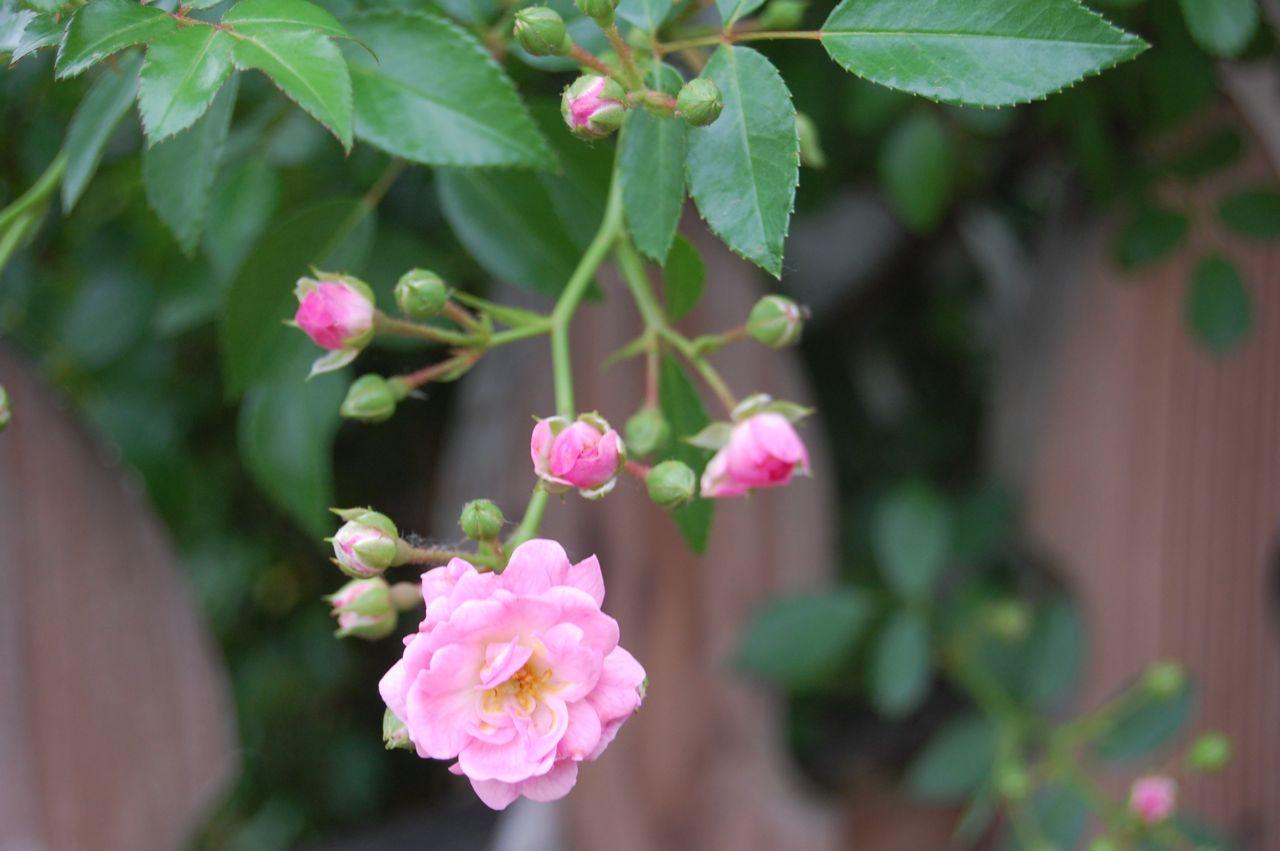 jeannie 39 s fairy rose louisiana garden fairy rose on my arbor. Black Bedroom Furniture Sets. Home Design Ideas