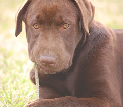 Our Chocolate Lab