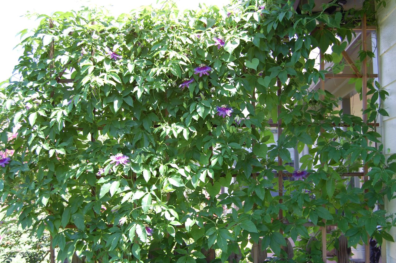 jeannie 39 s fairy rose louisiana garden my passion flowers On gardening is my passion