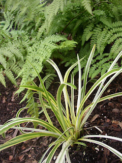 A study in contrasts ornamental grasses for Variegated ornamental grass varieties