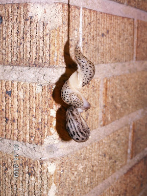 Then their male sex organs started to emerge. Slugs have both male and ...