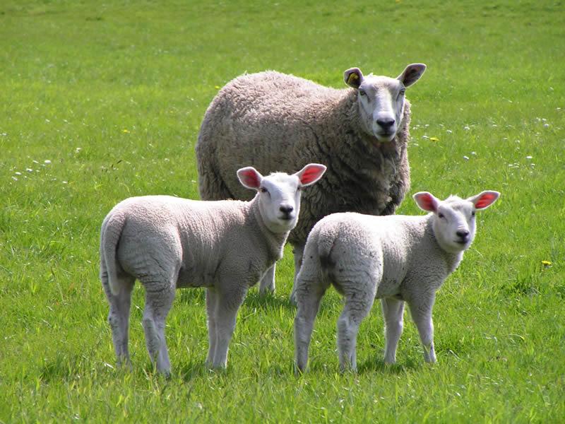 El escaparate: Contando (sobre) ovejas