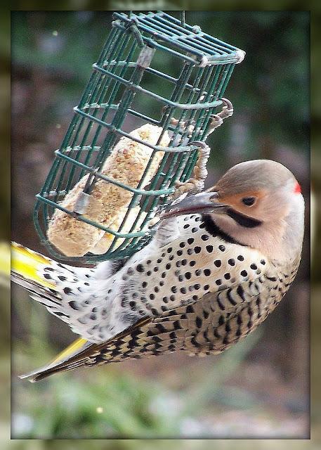Olla podrida feed the birds a recipe for wild bird suet for How to make suet balls for bird feeders