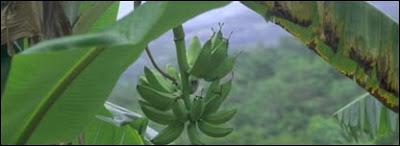 Proteína da banana pode prevenir transmissão do HIV