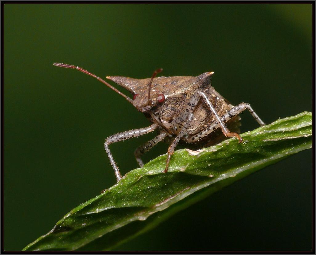 percevejo LL 080302 P+R2 18022a Top 10 animais com os piores odores da natureza!
