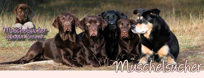 Muschelsucher Labradors- Unser A- Wurf