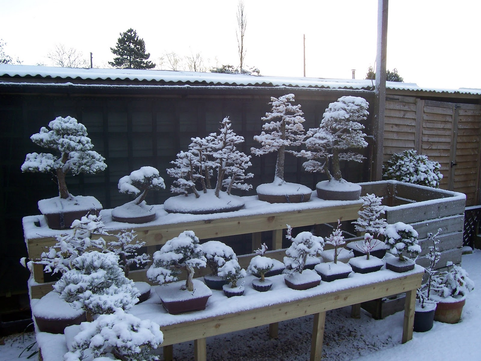 MiKo Bonsai Winter Has Well And Truly Arrived