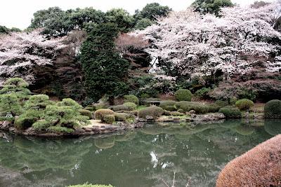 Japanese garden sakura cherry blossom