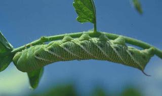 http://3.bp.blogspot.com/_ZipVizMY-zs/TEAmbW0XvgI/AAAAAAAAATQ/wix8GImJVlg/s1600/tomato+worm.jpg