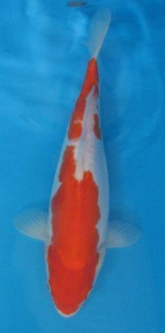 Ikan shiro ini saya dapatkan dari peternak jogyakarta for Breeder koi import