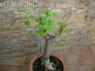 Eltallerdecarlos c mo cultivar un bons i - Como cultivar bonsais ...