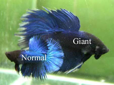 Ornamental fish for Largest betta fish