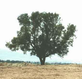 dalam hadis tentang pohon itu, iaitu pohon Gharqad itu adalah pohon ...