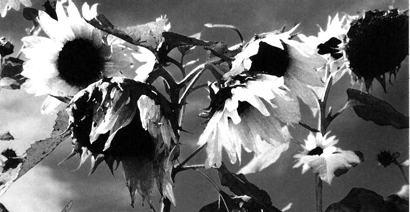 black and white pictures of sunflowers