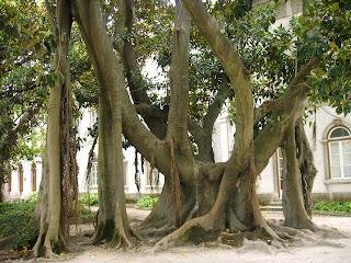 [Ficus+Macrophylia+Desf..JPG]
