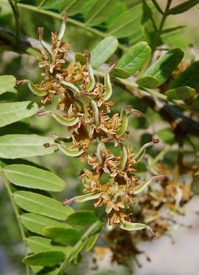 plantas beleza e diversidade espinheiro da virg nia