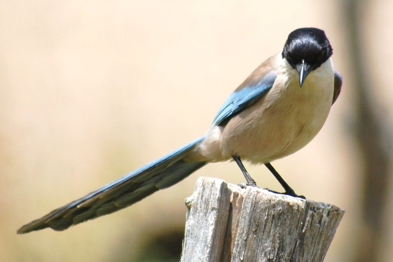 terra das aves pega azul cyanopica cyanus