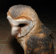 ΖΑΡΑ - BARN OWL
