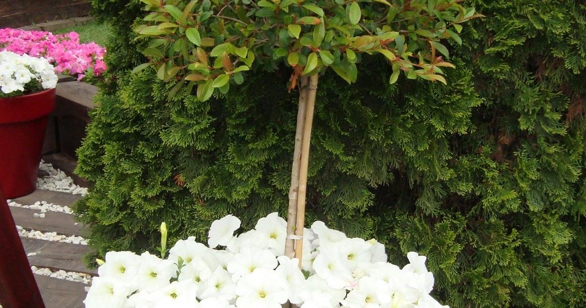 Mi jard n feliz eugenia syzyngium paniculatum - Plantas para estanques de jardin ...