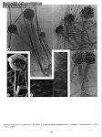 Rhizopus microsporus var. oligosporus