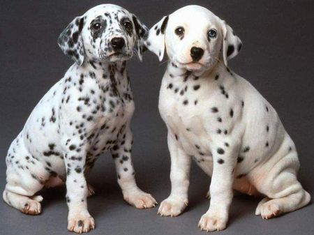 How Well Is Your Dalmatian Groomed?