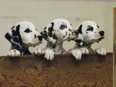 Dalmatian Puppies on Training Your Dalmatian To Listen To You